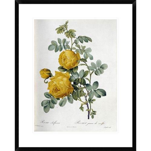 Global Gallery Rosa Sulfurea By Pierre Joseph Redoute, 28 X 22-Inch Wall Art