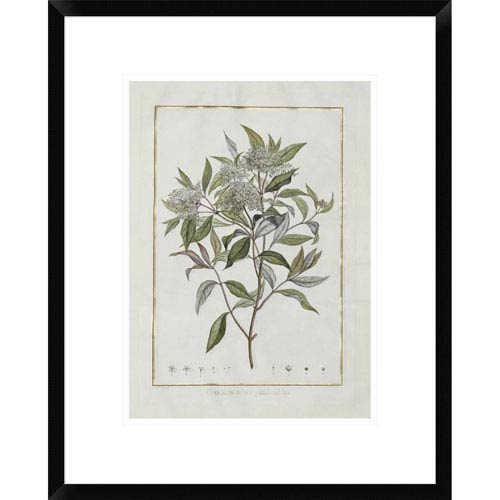 Global Gallery Cornus By Charles-Louis L Heritier De Brutelle, 22 X 17-Inch Wall Art