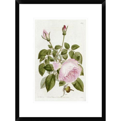 Global Gallery Illustration From The Botanical Register By John Lindley, 22 X 16-Inch Wall Art