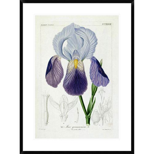 Global Gallery Bearded Iris By H.G.L. Reichenbach, 36 X 26-Inch Wall Art