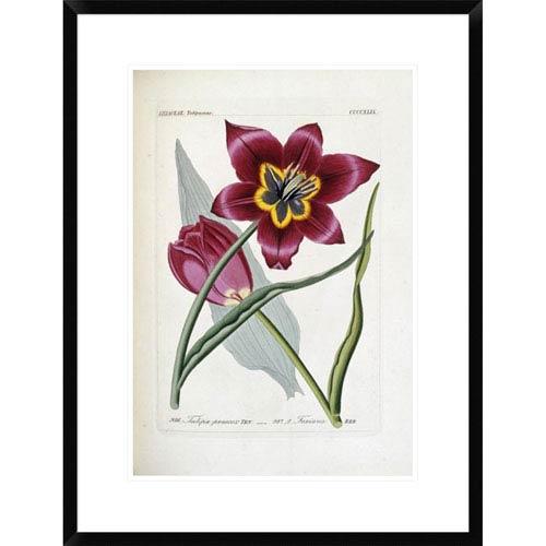 Global Gallery Tulipa Praecox By H.G.L. Reichenbach, 28 X 21-Inch Wall Art