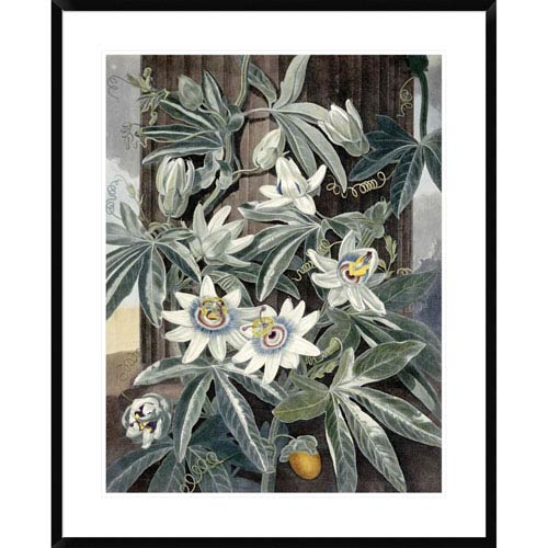 Global Gallery Passion Flowers By Robert John Thornton, 36 X 29-Inch Wall Art