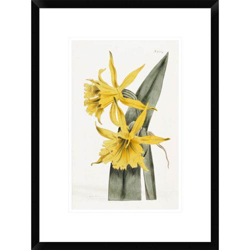 Global Gallery Narcissi By William Curtis, 22 X 16-Inch Wall Art
