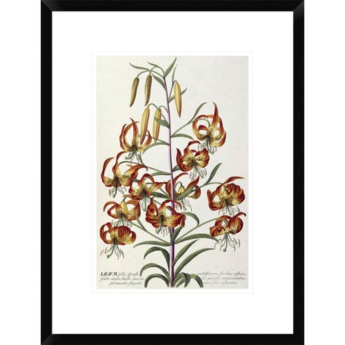 Global Gallery Lilium Plantae Selectae By Georg Dionysius Ehret, 22 X 16-Inch Wall Art