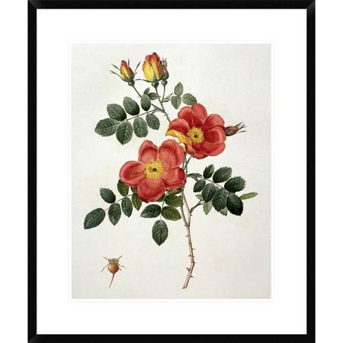 Global Gallery Rosa Eglanteria By Pierre Joseph Redoute, 28 X 23-Inch Wall Art