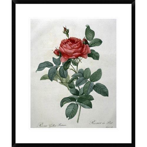 Global Gallery Rosa Gallica By Pierre Joseph Redoute, 28 X 23-Inch Wall Art
