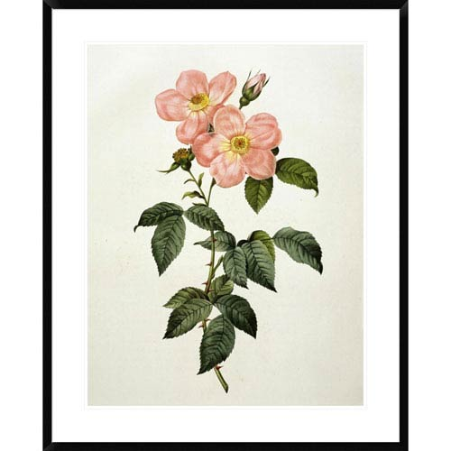 Global Gallery Rosa Indica Frangras By Pierre Joseph Redoute, 36 X 28-Inch Wall Art