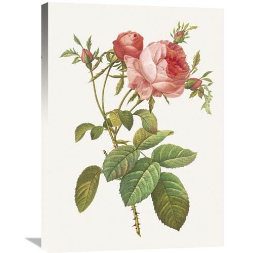 Global Gallery Rosa Centrifolia Foliacea By Pierre Redoute, 24 X 32-Inch Wall Art