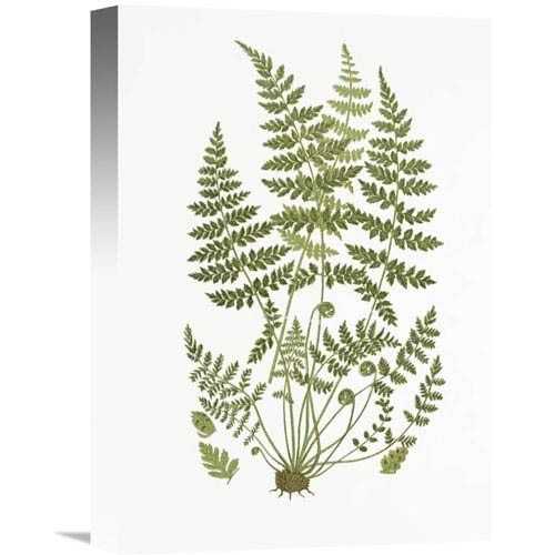 Global Gallery Brittle Fern By Anonymous, 11 X 16-Inch Wall Art