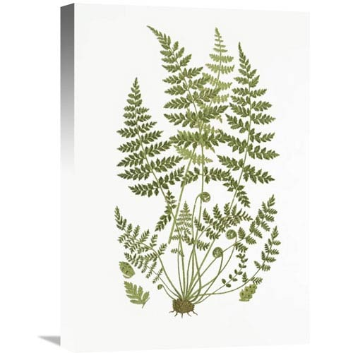 Global Gallery Brittle Fern By Anonymous, 15 X 22-Inch Wall Art