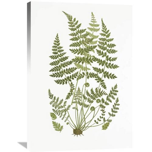 Global Gallery Brittle Fern By Anonymous, 25 X 36 Inch Wall Art Gcs ...