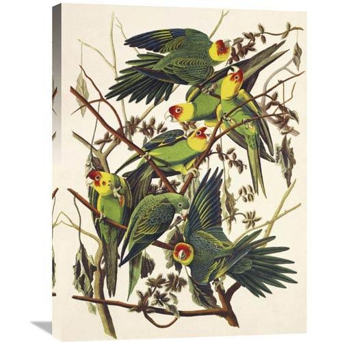 Global Gallery Carolina Parrot By John James Audubon, 24 X 32-Inch Wall Art