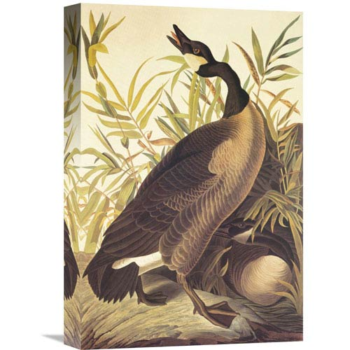 Global Gallery Canada Goose By John James Audubon, 12 X 18-Inch Wall Art