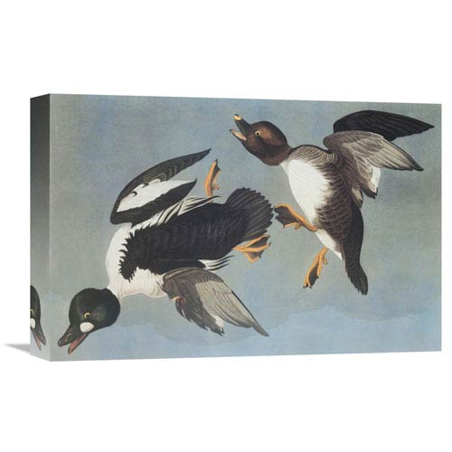 Global Gallery Golden Eye Duck By John James Audubon, 18 X 12-Inch Wall Art