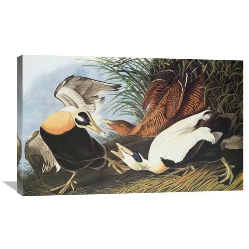Global Gallery Eider Duck By John James Audubon, 36 X 22-Inch Wall Art