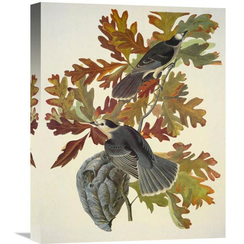 Global Gallery Canada Jay By John James Audubon, 16 X 20-Inch Wall Art