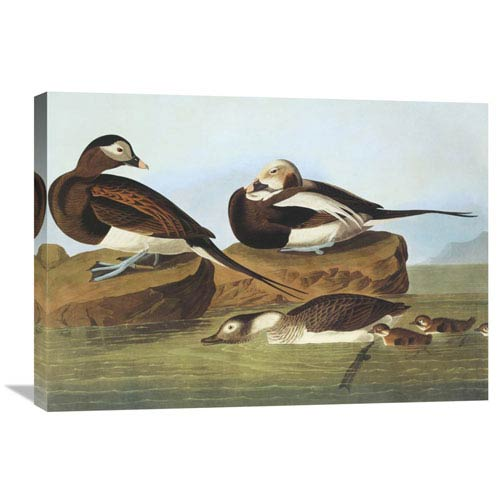 Global Gallery Long Tailed Duck By John James Audubon, 30 X 21-Inch Wall Art