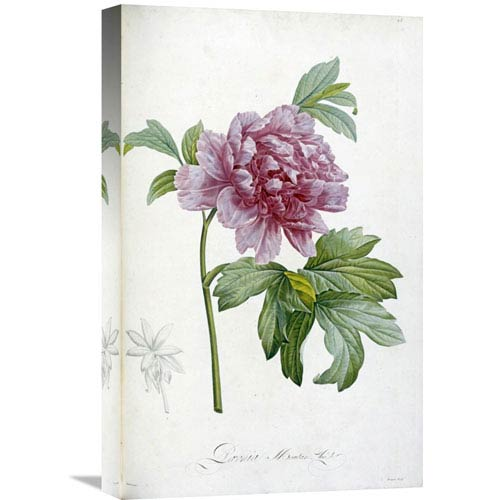 Global Gallery Engraving Of A Peony By Pierre Joseph Redoute, 14 X 22-Inch Wall Art