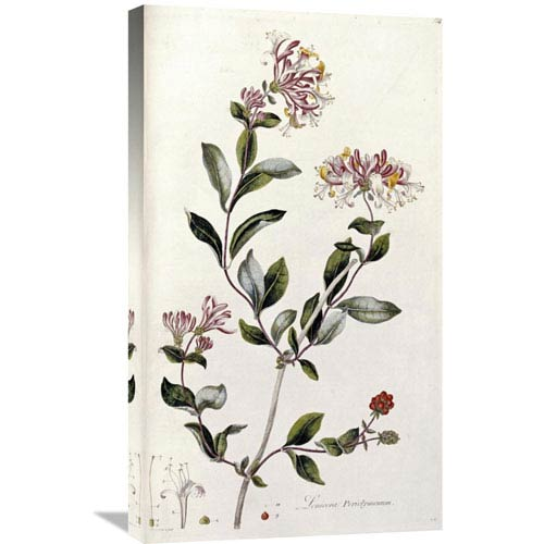 Global Gallery A Colour Plate From Curtis Flora Londinesis By William Curtis, 17 X 30-Inch Wall Art