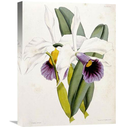 Global Gallery Lily By William Curtis, 16 X 22-Inch Wall Art
