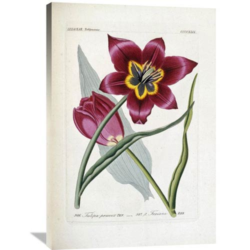 Global Gallery Tulipa Praecox By H.G.L. Reichenbach, 27 X 40-Inch Wall Art