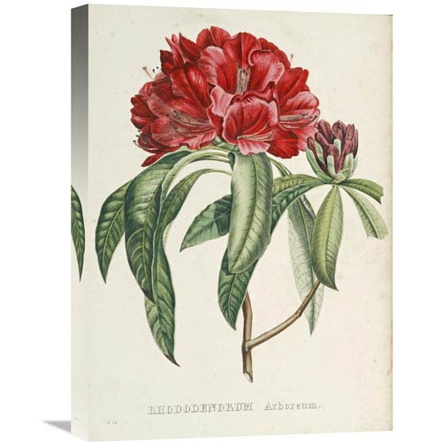 Global Gallery Rhododendrum Arboreum By H.G.L. Reichenbach, 15 X 22-Inch Wall Art