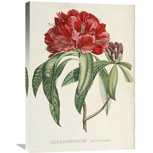 Global Gallery Rhododendrum Arboreum By H.G.L. Reichenbach, 21 X 30-Inch Wall Art