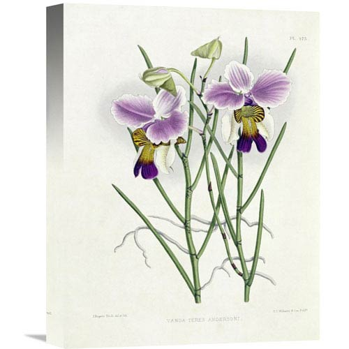 Global Gallery The Orchid Album Plate 475 By Robert Warner, 12 X 16-Inch Wall Art