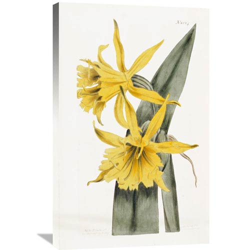 Global Gallery Narcissi By William Curtis, 22 X 36-Inch Wall Art