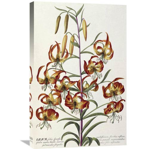 Global Gallery Lilium Plantae Selectae By Georg Dionysius Ehret, 19 X 30-Inch Wall Art