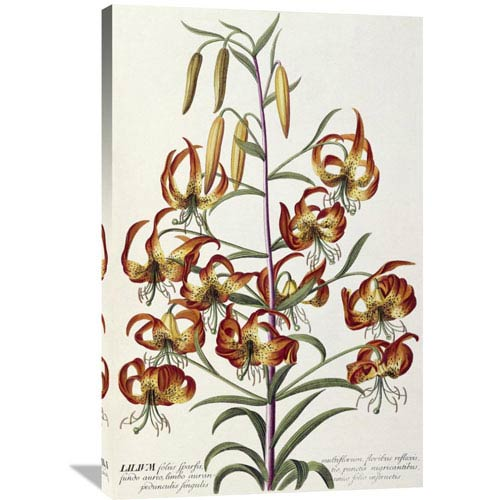 Global Gallery Lilium Plantae Selectae By Georg Dionysius Ehret, 26 X 40-Inch Wall Art