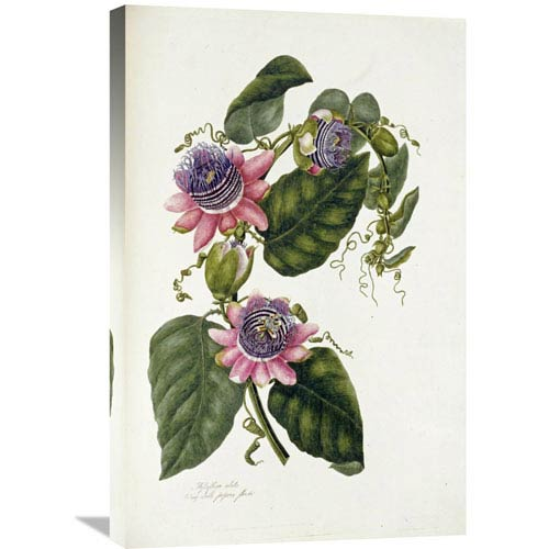Global Gallery Passion Flowers By Mary Lawrence, 19 X 30-Inch Wall Art