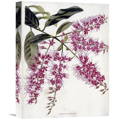 Global Gallery Combretum Purpureum By Conrad Loddiges, 12 X 16-Inch Wall Art