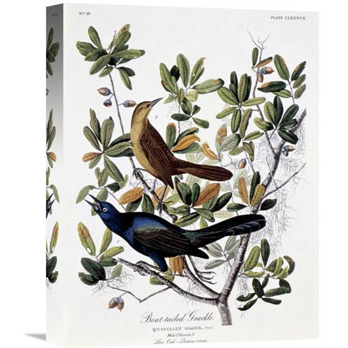 Global Gallery Boat Tailed Grackle Male And Female By John James Audubon, 12 X 16-Inch Wall Art