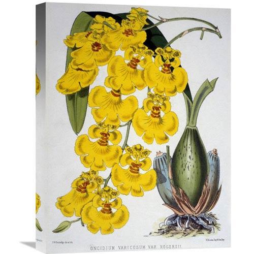 Global Gallery Oncidium Varicosum Var. Rogers Ii By Samuel Jennings, 16 X 22-Inch Wall Art