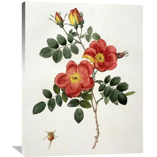 Global Gallery Rosa Eglanteria By Pierre Joseph Redoute, 31 X 40-Inch Wall Art