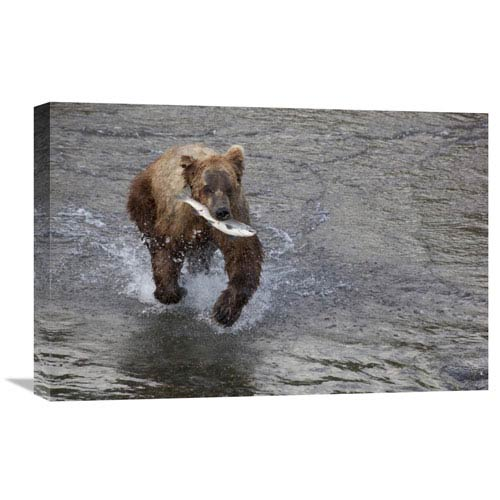 Global Gallery Grizzly Bear Young Male With Sockeye Salmon Prey Along Brooks River, Katmai National Park, Alaska By Matthias