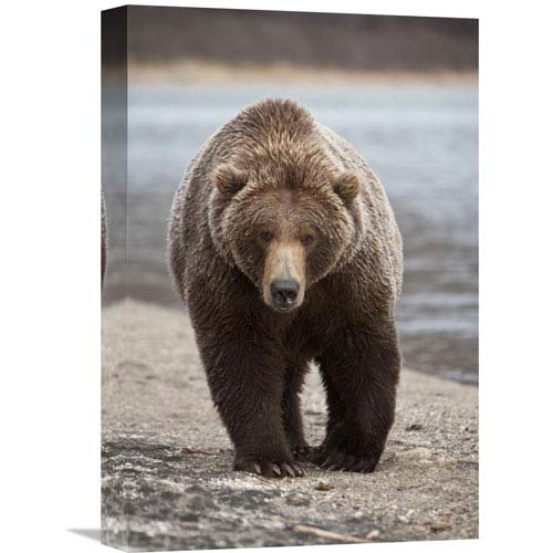 Global Gallery Grizzly Bear, Katmai National Park, Alaska By Matthias Breiter, 18 X 12-Inch Wall Art