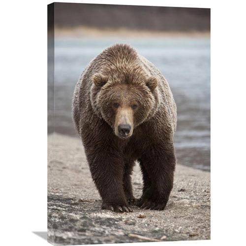 Global Gallery Grizzly Bear, Katmai National Park, Alaska By Matthias Breiter, 30 X 20-Inch Wall Art