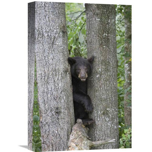 Global Gallery Black Bear Juvenile Male In Tree, Orr, Minnesota By Matthias Breiter, 18 X 12-Inch Wall Art