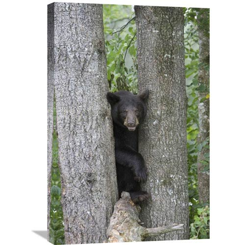 Global Gallery Black Bear Juvenile Male In Tree, Orr, Minnesota By Matthias Breiter, 30 X 20-Inch Wall Art