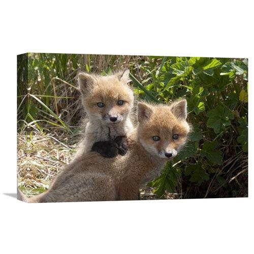 Global Gallery Red Fox Kits Playing Katmai National Park Alaska By Matthias Breiter  Inch Wall Art