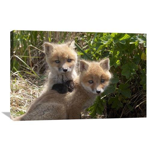 Global Gallery Red Fox Kits Playing, Katmai National Park, Alaska By Matthias Breiter, 24 X 36-Inch Wall Art