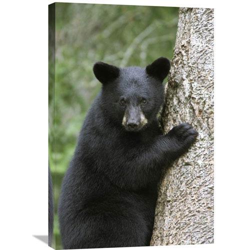 Global Gallery Black Bear Cub In Tree Safe From Danger, Orr, Minnesota By Matthias Breiter, 30 X 20-Inch Wall Art