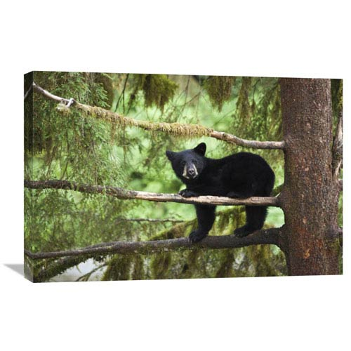 Global Gallery Black Bear Cub In Tree Along Anan Creek, Tongass National Forest, Alaska By Matthias Breiter, 20 X 30-Inch