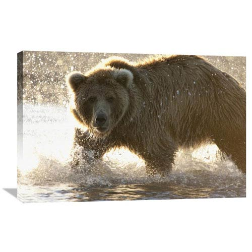Global Gallery Grizzly Bear Foraging For Salmon In Stream, Katmai National Park, Alaska By Matthias Breiter, 24 X 36-Inch