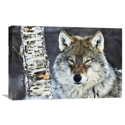 Global Gallery Gray Wolf Portrait, Norway By Jasper Doest, 16 X 24-Inch Wall Art