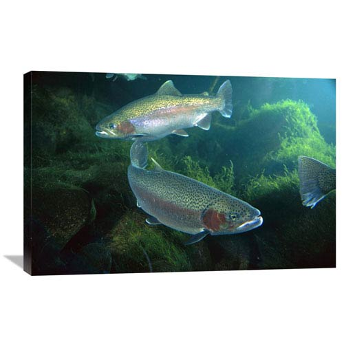 Global Gallery Rainbow Trout Pair Underwater In Utah By Michael Durham, 24 X 36-Inch Wall Art