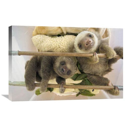Global Gallery Hoffmanns Two Toed Sloth Orphaned Babies, Aviarios Sloth Sanctuary, Costa Rica By Suzi Eszterhas, 20 X 30-Inch