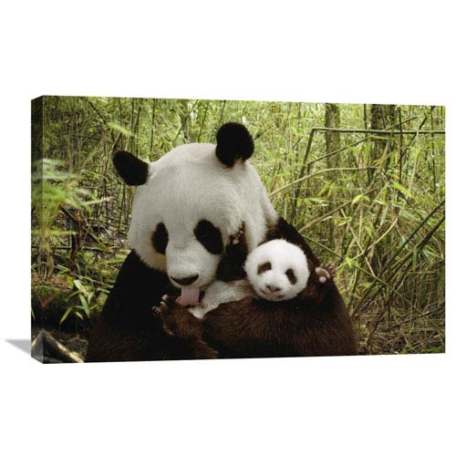 Global Gallery Giant Panda Gongzhu And Cub In Bamboo Forest, Wolong Nature Reserve, China By Katherine Feng, 20 X 30-Inch